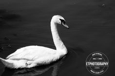 This beautiful swan photo has amazing detail from water, reflection, and the feathers. A truly wonderful black and white photograph