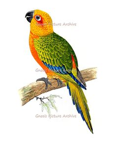 $10.00 Antique Bird Print Orange Parrot No.2 Wall Hanging Vintage Ornithology Natural History Home Decor Wall Art Print 8x10 GnosisPictureArchive