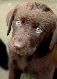 85 Best Brown Labradors Images On Pinterest Chocolate Labs