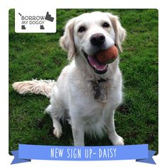 #NewDoggySignUp Daisy is an incredibly soppy Golden Retriever who's still a puppy at heart :) She loves to be to be talked to, stroked, cuddled, kissed, brushed and handled in every way!