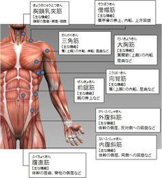 筋トレ大学:各部筋肉の名称(体幹部の筋肉:前側)