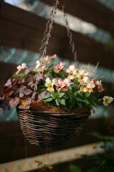 この渋々ビオラ~一目惚れ~♪♪ これは地植えではなく、やっぱり寄せ植えかな~っと(^^) 私にしてはギュウギュウに植えたつもりです。 この色そのまま...
