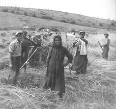 Kézi aratás!! Szomód határában !! – – itt: TSZ első éveiben 1950 es évek vége ! by: Búzer Gusztáv