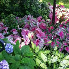 planting caladiums with impatiens flowers - - Yahoo Image Search Results Hydrangea Landscaping, Garden Landscaping, Landscaping Ideas, Impatiens Flowers, Hydrangeas, Shade Garden, Garden Plants, Shade Plants, Tropical Garden