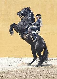 Andalusian Ureo PRE Stallion / PRE Hengst