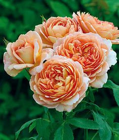 Rose, Carding Mill .Strong stems with strong myrrh fragrance.