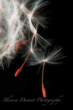 Catch a Dream Dandelion Photography dreams by TheresaDurantPhotos, $19.98
