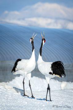 .:Crane Duet:. by RHCheng on DeviantArt