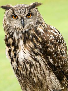 The European Eagle Owl!