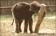 This baby elephant who's hoping nobody saw that: