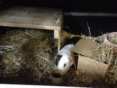 guinea pig enrichment Box