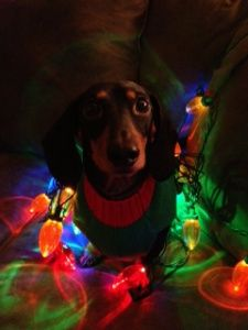 Black & Tan Dachshund wrapped in Christmas lights. | Dogs Wrapped ...