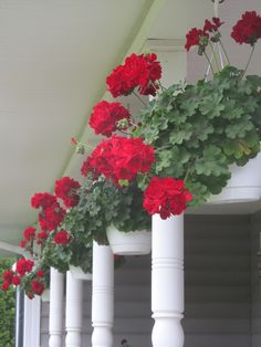 Caliente (IVY) Geranium...Outstanding Features: Ivy Geraniums exhibit moderate frost tolerance and love the Sun & Heat! Don't need water everyday in the summer.  Pinching results in bushier plants. Love on my very dry sunny front porch. Such a vibrant true red! LOVE!