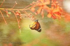 Monarch Butterfly Photograph Butterfly Alight by MScottPhotography