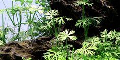 Ranunculus inundatus - Tropica Aquarium Plants