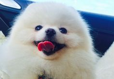 13 Pomeranians Whose Fluff Levels Are Off The Charts