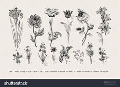 Botany. Set. Vintage Flowers. Black And White Illustration In The Style Of Engravings. - 264154823 : Shutterstock