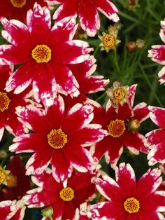 Coreopsis hybrida 'Ruby Frost' (tickseed)