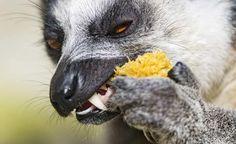 Teeth link 'Darwinius' fossil to lemurs not monkeys https://www.oximity.com/article/Teeth-link-Darwinius-fossil-to-lemurs-1?utm_campaign=it&utm_source=it-1-autoTw&utm_medium=twitter-%40OximityScience&utm_term=articleId-769062… #science