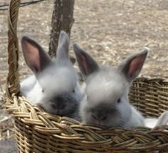 siamese satin rabbits for sale   Zoe Fans Blog