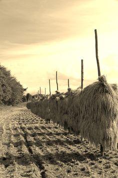 岩手の田圃風景 - Iwate rice harvest