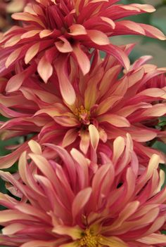 Dahlia 'Art Deco'. This decorative dahlia is slightly smaller than normal, but still packs a punch. Discover more at: http://www.gardenersworld.com/plants/dahlia-art-deco/1300.html Photo by Tim Sandall.