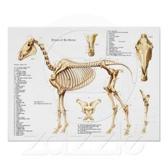 Horse Anatomy Skeleton Poster. www.horsesinsideout.com for more info, fun and educational insights into Horse Anatomy...