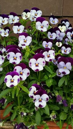 """Pansies..they always remind me of Disney's """"Alice in Wonderland"""" where they talk/sing to Alice"""