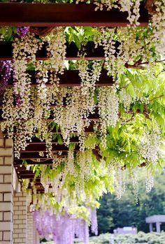Wisteria plants on an arbor Beautiful World, Beautiful Gardens, Beautiful Flowers, Beautiful Places, Dream Garden, Home And Garden, Landscape Design, Garden Design, Jardin Decor