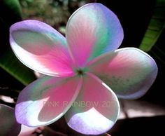 """""""PINK RAINBOW"""" FRAGRANT CUTTING OF PLUMERIA 7-12"""" HAVE ROOTED WITH CERTIFICATED"""