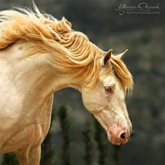 Looks like a double pearl: Andalusian stallion                              …