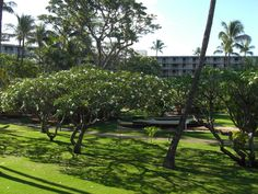 Where to stay on #Maui: Kana'apali Beach Hotel. Love the plumeria trees in the central courtyard around the pool!!