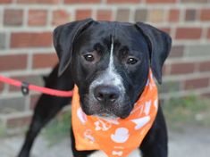 TO BE DESTROYED 8/14/14 Brooklyn Center -P My name is ROCKY. My Animal ID # is A1007883. I am a male black and white pit bull mix. The shelter thinks I am about 7 MONTHS old. I came in the shelter as a OWNER SUR on 07/24/2014 from NY 10305, owner surrender reason stated was PERS PROB. I came in with Group/Litter #K14-187205.
