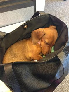 Asleep in moms purse Mini Doxie - latest purse, turquoise purse, handbags & purses *ad