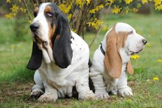 Dog Fact:  Basset Hounds have the longest ears out of any other dog breed. Many measure between 7 and 10 inches long.