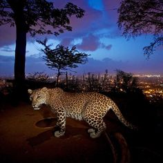 """@natgeo @stevewinterphoto @natgeowild """"If you show the viewers something they have never seen before they they actually look at it! Nat Geo Wild tonight @9pm! Leopards at the Door - Watch or set your DVR""""s!!! Sanjay Gandhi National Park (SGNP) in Mumbai India is a jewel of the world. Mumbai can show the world the way forward in living with large cats! As there is no other place like it on the planet.  SGNP is more proof that we humans live with majestic animals in urban areas without even…"""