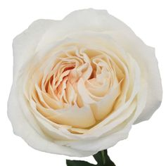 Buy White Blush Garden Roses at FiftyFlowers.com! This Garden Roseis a fluffy off white garden rose with hints of soft pink and has an amazingly sweet scent. Fluffy and full, this rose is perfect for a baby shower or classic wedding. Sweet and delicate, this rose plays nicely with other soft petaled blooms such as peonies, ranunculus, sweet peas and anemones.