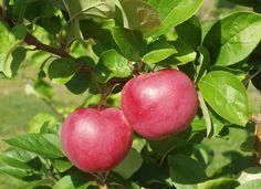 Malus domestica Make, höstsort. Växt: upprätt växtsätt, öppna grenvinklar.  Skörd: oregelbunden. Frukt: medelstor/stor, ljusgrön, söt, aromrik.  Hållbarhetstid: 4 veckor. Bild: Taimistoviljelijät