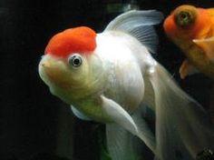 きんぎょ!金魚!kingyo!!