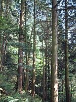 三上山桧皮採取林 林内