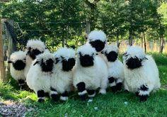 Fluffy Cows, Fluffy Animals, Cute Baby Animals, Farm Animals, Animals And Pets, Cute Sheep, Sheep Farm, Sheep And Lamb, Baby Sheep