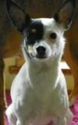 Lil Bit - AF is an adoptable Rat Terrier Dog in Morgantown, WV. Leon Male Italian Greyhound Mix Good with other dogs, kids and cats. For more information, please email Val at valholsinger@yahoo.com �o...