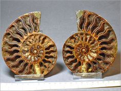 Matching Cleoniceras ammonite pair. Cut and polished to reveal the internal structure of the piece with crystals formed in the chambers.  397 grams. 12.4 cms high. Size as is shown in the measure at the bottom of the photographs. The upper scale is in centimetres, the lower larger scale in inches.  110 - 120 Million years old. Mid Cretaceous period.   From  Mahajunga, Madagascar.  Supplied with a free plastic clip stand to help display the piece.  Very attractive.  Ref No: 977
