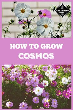 to Grow Cosmos Cosmos are annuals with the appearance of a delicate wildflower. Cosmos can grow two to six feet tall. Smaller varieties of cosmos are a perfect addition to containers. Flower Farm, Flower Garden, Container Plants, Organic Horticulture, Flower Pot Design, Cosmos, Plants, Container Gardening Flowers, Cosmos Flowers