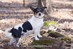 Jake, Adoptable Terrier/Corgi Mix | Georgia Jack Russell Rescue, Adoption & Sanctuary