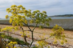 Foeniculum at the seaside