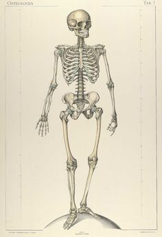 Plate 1 of Sigismond Laskowski's Anatomie normale du corps humain, featuring the frontal view of a skull standing on a sphere. Skeleton Drawings, Skeleton Art, Cool Art Drawings, Anatomy Images, Anatomy Art, Human Anatomy, Punisher, Red Aesthetic Grunge, Illustrations