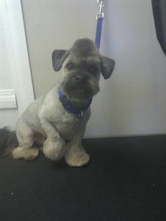 mohawk on a shih tzu