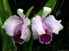 La Orquídea Cattleya Trianae
