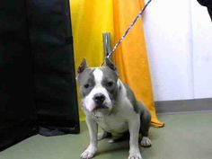 DEVORE,CA. EUTH LIST. 11/27/17. Portia ID# A685803. Female Staffordshire Bull Terrier. Age unknown. Rescue only (tried to bite). Medical waiver (bite wounds). Arrived 11/20/17.